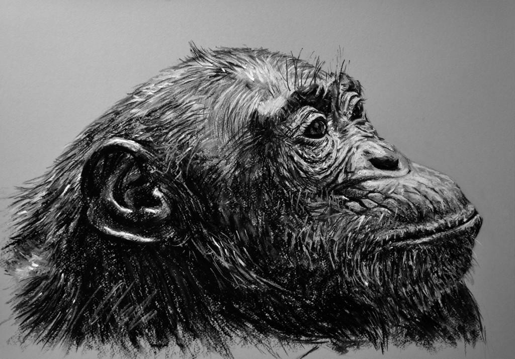 Chimpancé hembra. Pastel, 50 x 35 cm. Javier Olmedo - 2013 -  PV 75 €
