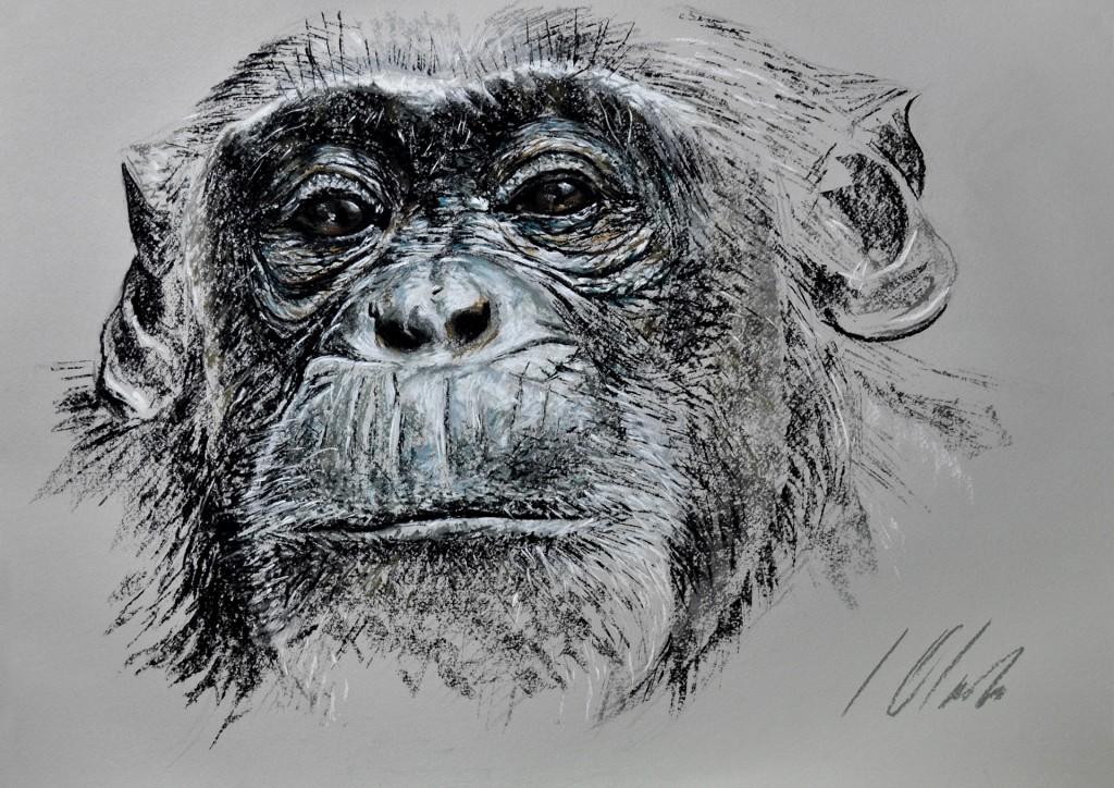 Chimpancé hembra II, pastel, 50 x 35 cm. Javier Olmedo. 2014