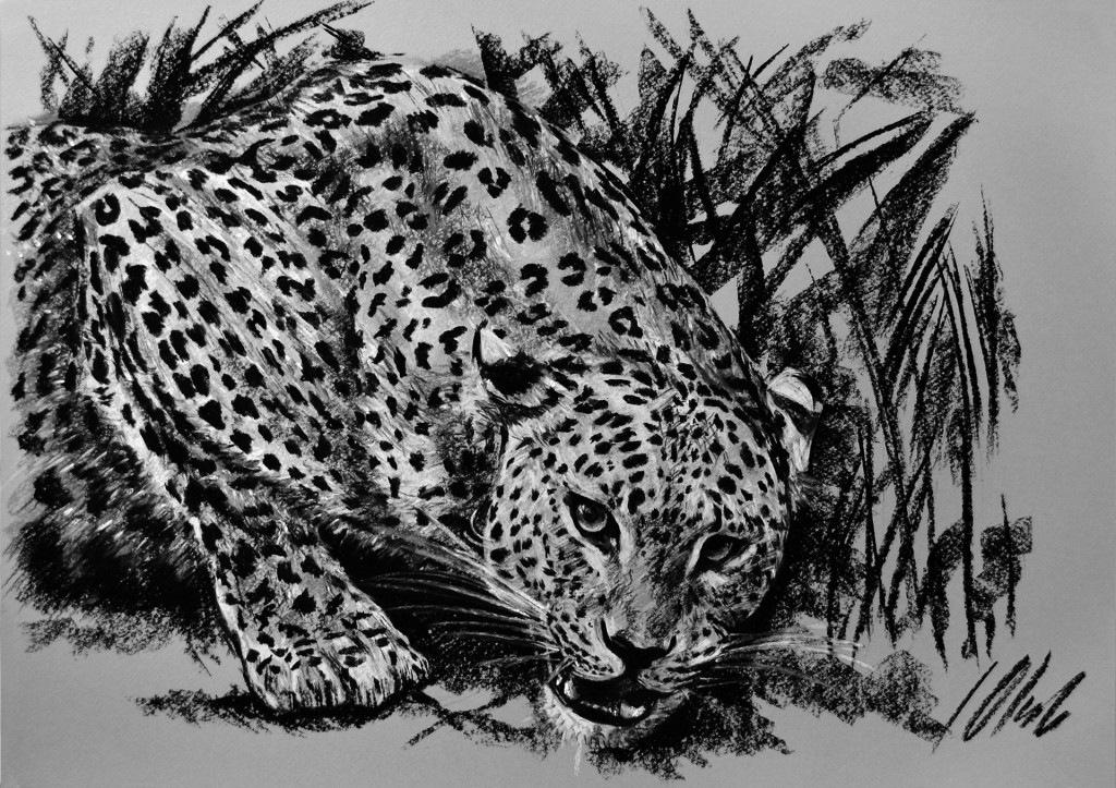 Leopardo, carboncillo, 50 x 35 cm. Javier Olmedo.      2013. PV 80,00 €