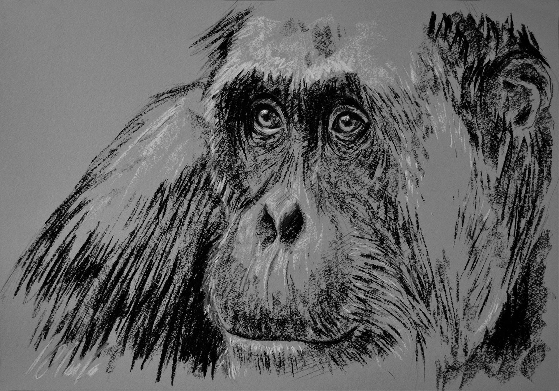 Orangután. Carboncillo, 50 x 35 cm. Javier Olmedo - 2013 -  PV 75 €