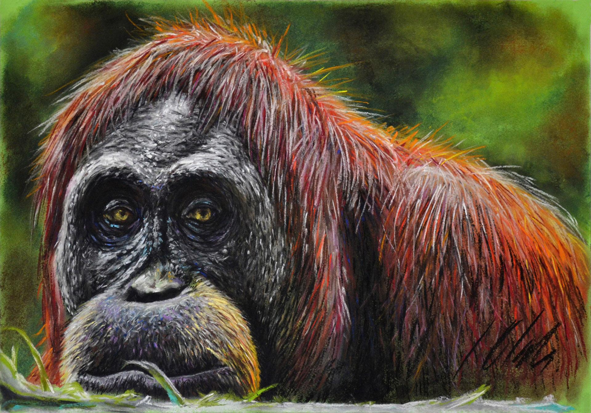 Orangután. Pastel, 50 x 35 cm. Dibujo de Javier Olmedo - 2014 - PV 114,00 €