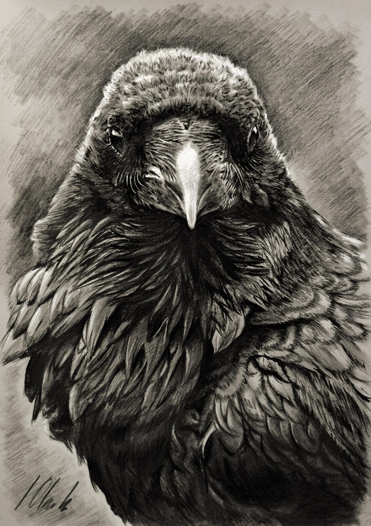 Cuervo. Dibujo en grafito, 35 x 50 cm. Javier Olmedo - 2017 -  PV 95 €