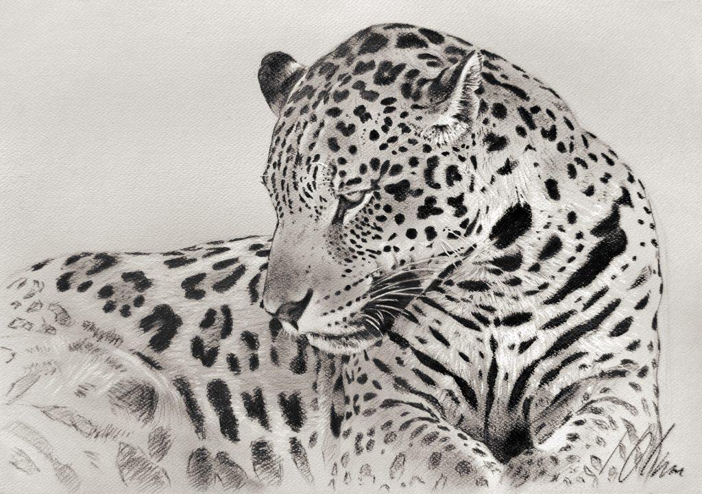 Jaguar, grafito y lápiz blanco, 50 x 35 cm. Javier Olmedo -2019- PV 129,00 €