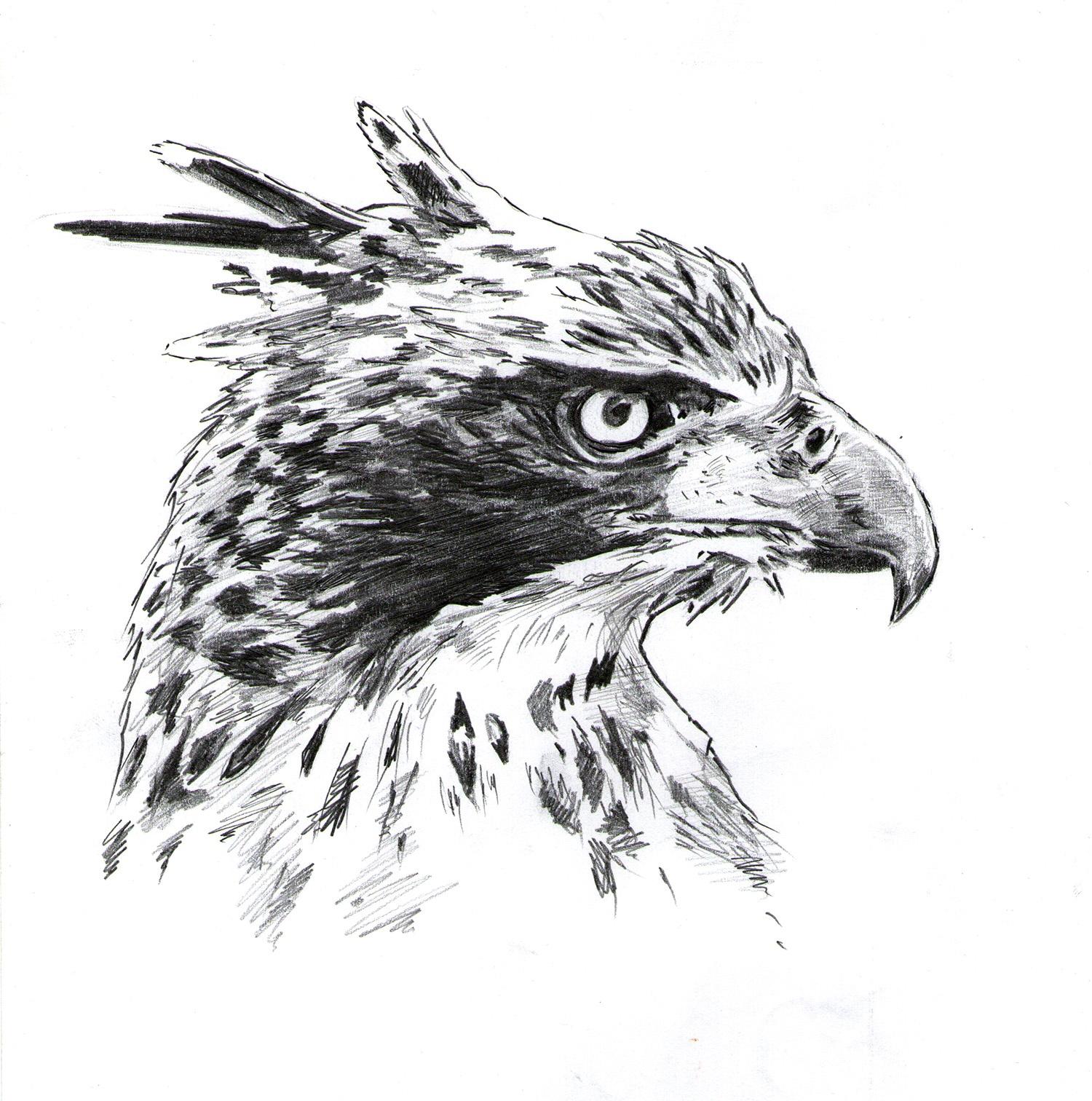 Águila arpía, grafito. Javier Olmedo. 2008